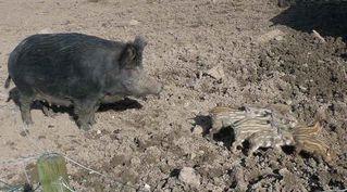 Wildschwein - Schweine, Paarhufer, Allesfresser, weltweit, Jagdwild, Frischlinge, Frischling, Wildschwein, Wildschweine, Bache