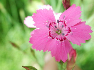 Heidenelken - Kräuter, Pflanzen, Blumen, Blüten, Nelken, Heidenelken, rosa, pink, Nelke