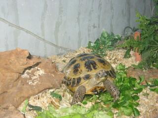Schildkröte - testudo horsfieldii, Landschildkröte, Steppenschildkröte, Schildkröte, Terrarium
