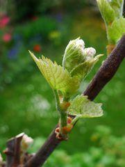 Wein - Wein, Landwirtschaft, Weinbau, Trauben, Weinstock