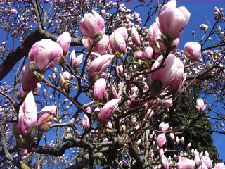 Blüte der Magnolie - Magnolie, Tulpenbaum, Frühling, Blüte, blühen, rosa, zart