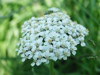 Schafgarbe Blüten - Kräuter, Pflanzen, Blumen, Blüten, Schafgarbe, weiß, Korbblüte