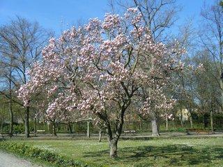 Magnolienbaum - Magnolie, Tulpenbaum, Frühling, Blüte, blühen, rosa, zart