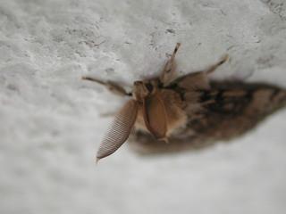 Nachtfalter - Falter, Nachtfalter, Fühler, Insekt, Motte
