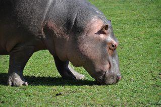 Nilpferd beim Grasen - Flusspferd, Nilpferd, Hippo, Hippopotamus amphibius, Säugetier, Vegetarier, Pflanzenfresser, Afrika, Paarhufer, schwer, gefährlich