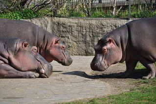 Nilpferde - Flusspferd, Nilpferd, Hippo, Hippopotamus amphibius, Säugetier, Vegetarier, Pflanzenfresser, Afrika, Paarhufer, schwer, gefährlich