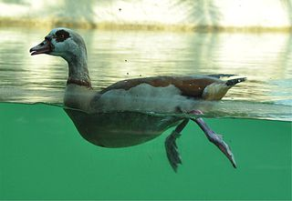 Eine Frage der Persepektive! - Ente, Wasser, Wasservogel, Vogel, schwimmen, tauchen, Wasser