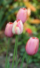 Tulpen - Frühling, Frühjahr, Frühblüher, Tulpe, Blüte, Zwiebelgewächs