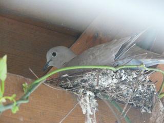 Taube im Nest - Nest, Taube, Vogel, nisten, brüten