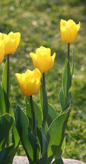 Tulpen - Frühling, Frühjahr, Frühblüher, Tulpe, Blüte, Zwiebelgewächs, Meditation, Schreibanlass, gelb