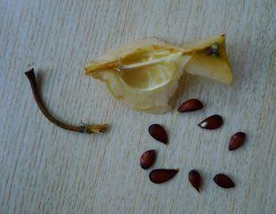 Kerngehäuse #3 - Apfel, Frucht, Makro, Kerngehäuse, Samen, Samenkern, Kern, Apfelkern