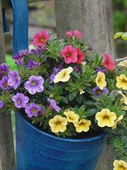 Petunien mini - Blume, Petunie, Frühling, bunt, Farben