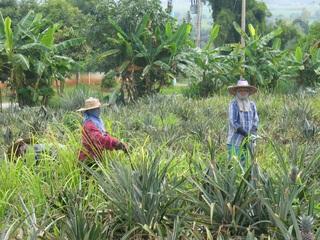Ananas-Ernte - Ananas, tropische Früchte, Obst, Bauern, Anbau