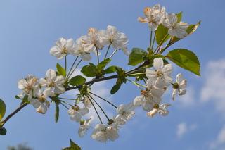 Kirschblüten - Blüte, Baum, Pflanze, Obst, Rosengewächs, Kirsche