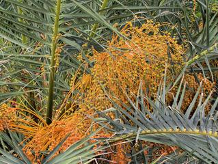 Kanarische Dattelpalme - Fruchtstand #2 - Palme, Dattelpalme, Kanarische Inseln, Pflanze, Palmengewächs, Früchte, Fruchtstand, Palmwedel