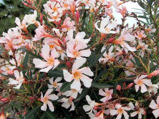 Oleander - Oleander, Zierpflanze, rosa, Blüten, giftig, Rosenlorbeer, Hundsgiftgewächsen