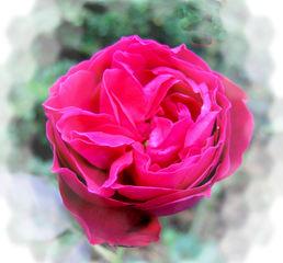 Eine Rose - Rose, Effektbild, Blume, Blüte