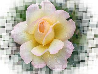Eine Rose - Rose, Effektbild, Blume, Blüte, Muttertag, Geburtstag