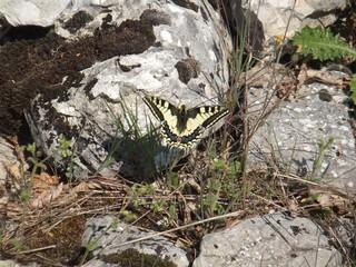 Schwalbenschwanz - Schmetterlin, Falter, Tagfalter, Ritterfalter