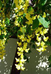 Goldregen #2 - Goldregen, giftig, Laburnum, Bohnenbaum, Goldrausch, Gelbstrauch, Schmetterlingsblütler