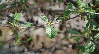 Erle #2 - Erle, Schwarzerle, Birkengewächs, Alnus, Betulaceae, einhäusig