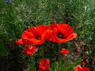 Mohnblüten - Mohn, Klatschmohn, Wiesenblume, Mohnblume, Knospe, haarig, behaart