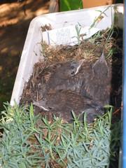 Amsel #2 - Vogel, Amsel, Jungtiere, Nest, Jungvögel