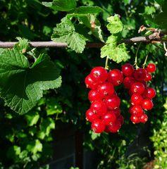 Johannisbeerenrispe - Johannisbeere, Obst, Frucht, Johannisbeere, Ribes, Ribisel, Träuble, Meertrübeli, Stachelbeergewächs, Beerenobst