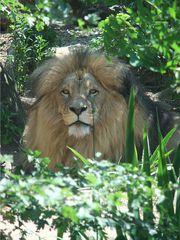 Löwe - Löwe, Raubtier, Katze, Raubkatze, Säugetier, männlich, Männchen, Fleischfresser, Zoo, Gehege