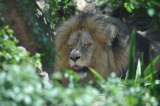 Müder Löwe - Löwe, Raubtier, Katze, Raubkatze, Säugetier, männlich, Männchen, Fleischfresser, Zoo, Gehege, müde, schlafen, ruhen