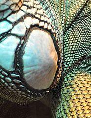 Was_ist_das#Tiere - Leguan, Grüner Leguan, Kriechtier, Schuppen, schuppig, tagaktiv, Pflanzenfresser, Terrarium, Detail, Muster