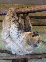 Faultier#2 - Faultier, Säugetier, Zoo, Faulheit, faul, langsam, Ruhe, Gelassenheit, erholen, abhängen