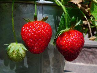 Erdbeeren - in verschiedenen Stadien - Erdbeere, Blütenpflanze, Frucht, Sammelnussfrucht, fragaria ananassa, Rosengewächs, Gartenerdbeere