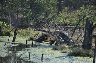 Pietzmoor # 1 - Moor, Pietzmoor, Schneverdingen, Landschaft, Landschaftsform, Hochmoor, Feuchtgebiet, Wasser, Sumpf, Naturschutzgebiet, renaturiert, feucht, nass
