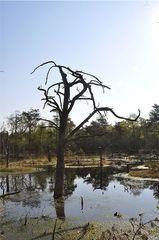 Pietzmoor # 2 - Moor, Pietzmoor, Schneverdingen, Lüneburger Heide, Landschaft, Landschaftsform, Hochmoor, Feuchtgebiet, Wasser, Sumpf, Naturschutzgebiet, renaturiert, feucht, nass, abgestorben, Baum