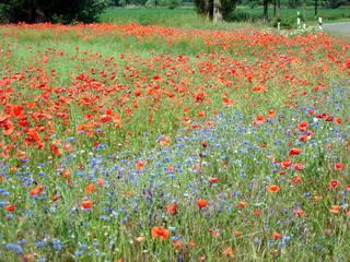 Sommerwiese#2 - Sommer, Wiese, Mohn, Kornblumen, Juni, Jahreszeit