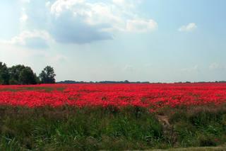Mohnwiese#1 - Mohn, Sommer, Juni, Wiese, rot