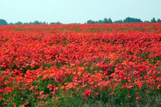 Mohnwiese#3 - Mohn, Blume, rot, Sommer, Jahreszeit, Juni