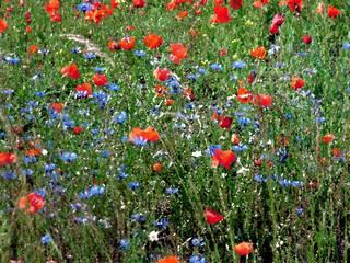 Sommerwiese Oilpaint - Sommer, Wiese, Sommerwiese, Mohn, Kornblumen, rot, blau, Oilpaintvorlage, Malvorlage