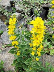 Gilbweiderich - Goldfelberich - Gilbweiderich, Felberich, Goldfelberich, Blume, Blüte, Pflanze, gelb, Primel