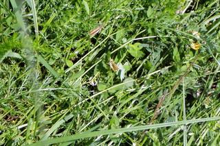 Versteckte Heuschrecken - Heuschrecke, Heuschrecken, Insekten, Gras, Sommer