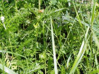 Rasenstück mit Heuschrecke - Rasen, Rasenstück, Heuschrecke, Kunst, Rätsel, Suchbild