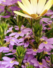 Hummel auf Fächerblume - Hummel, Insekt, Fächerblume, lila