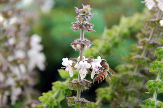 Biene an Basilikumblüte#1 - Biene, Blüte, Basilikum, Insekt, Hautflügler, sammeln
