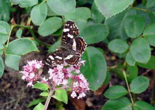 Schmetterling #1 - Schmetterling, Blüte, Sommer, Insekt, Landkärtchen