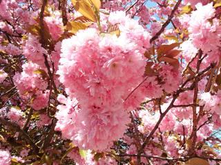 Japanische Blütenkirsche#2 - Blüte, rosa, Frühling, blühen