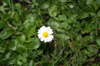 einsames Gänseblümchen - Korbblütler, Wiesenblume, Bellis perennis, Rasen, Wiese, weiß, gelb, Heilpflanze, Blüte, Pollen, Gänseblümchen