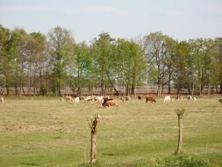 Rinder auf der Weide - Rind, Rinder, Landwirtschaft, Weide, Paarhufer, Wiederkäuer