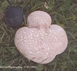 Bovist - Fruchtkörperform, Kugelpilz, Bovist, Sporen, Staubpilz, Ständerpilz
