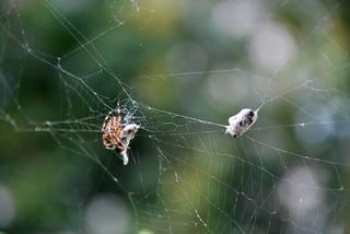 Kreuzspinne4# - Spinne, Kreuzspinne, Spinnennetz, Webspinne, Radnetzspinne, Beute, fressen